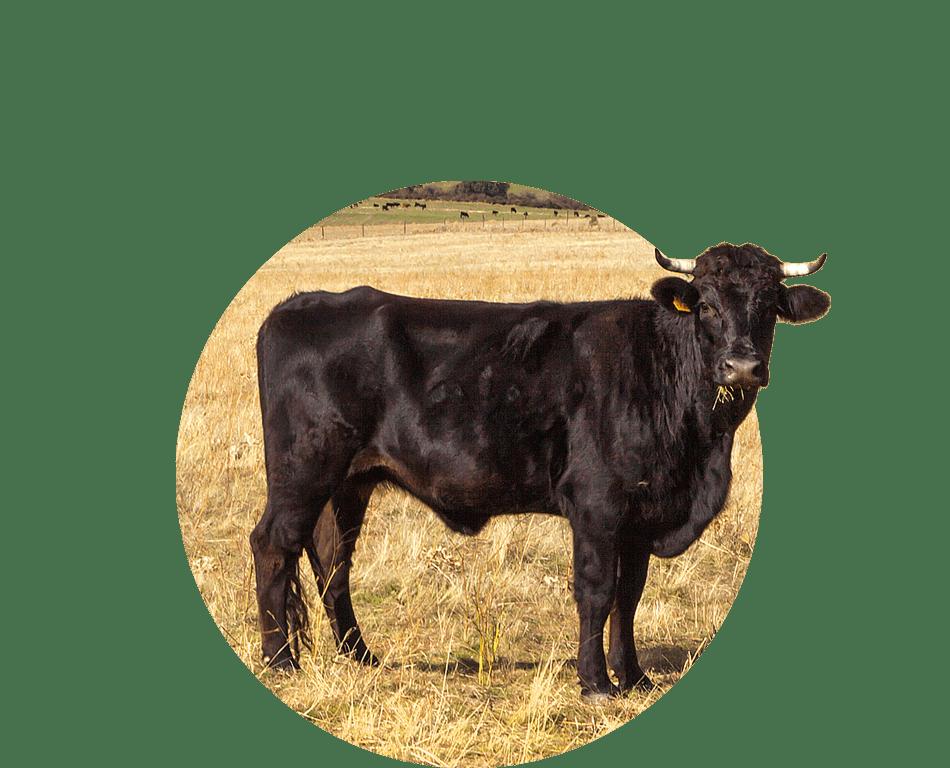 Chov/aukce býků